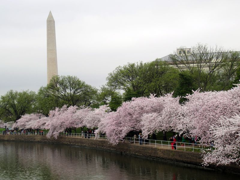 Cherry-blossoms-dc-washington-monument