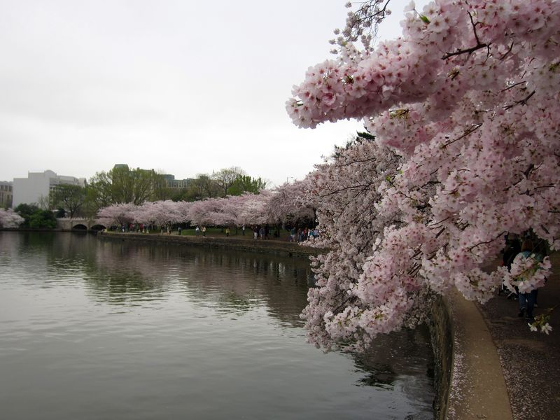 Cherry-blossoms-washington-dc-tidal-basin