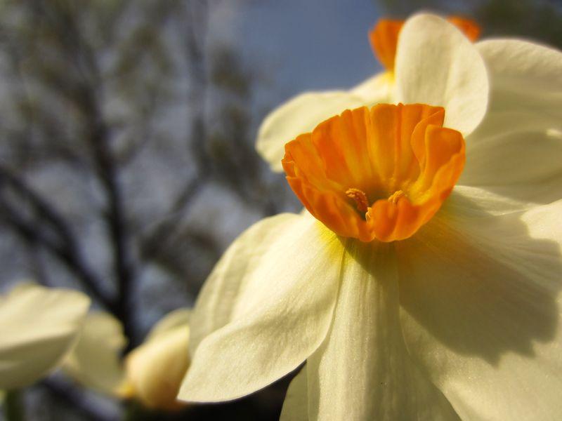 Narcissus-mini-daffodil