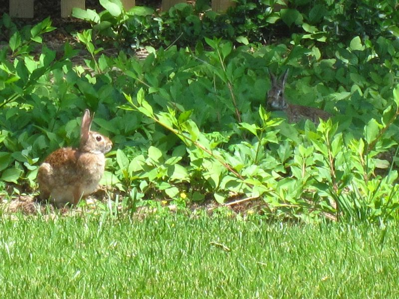 Backyard-bunnies