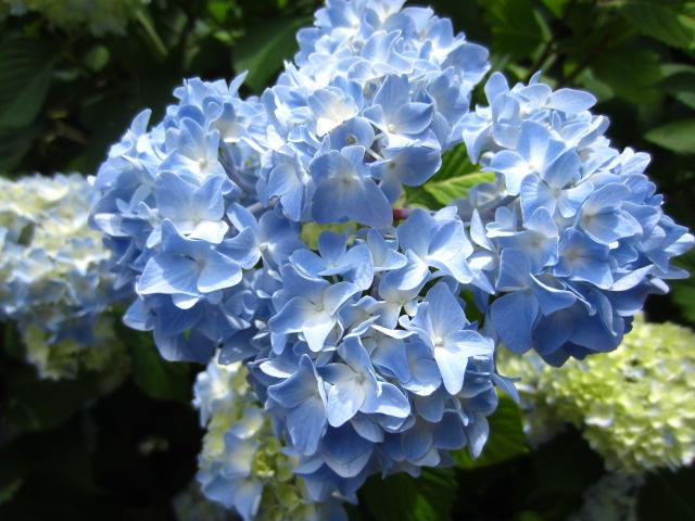 Blue Hydrangea-May 2012