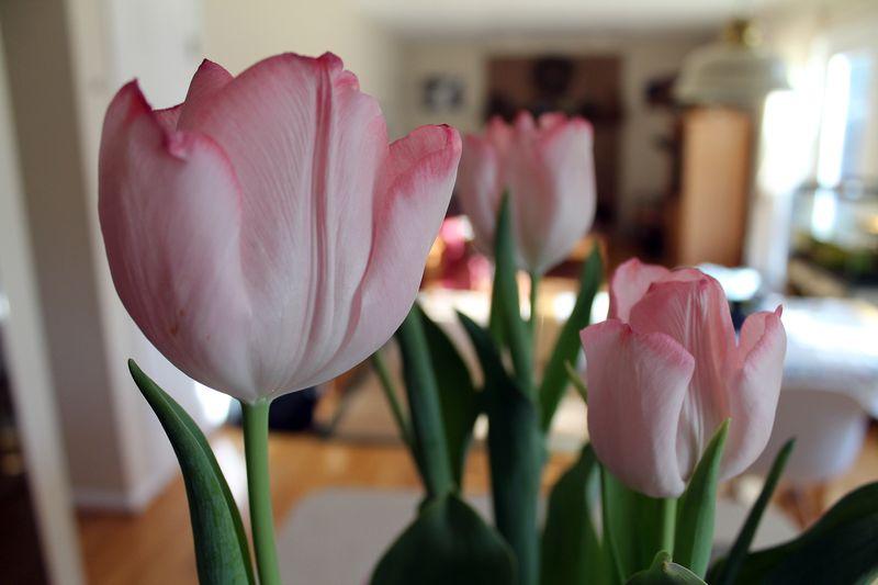 Valentine-tulips-2013