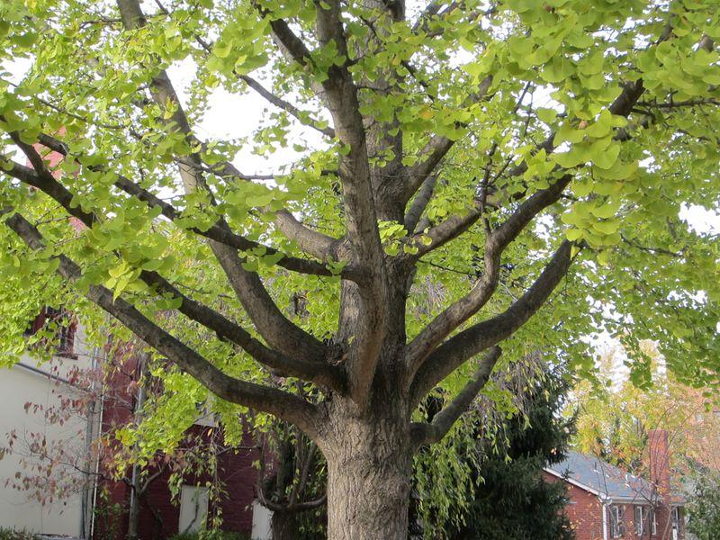 Leesburg-tree