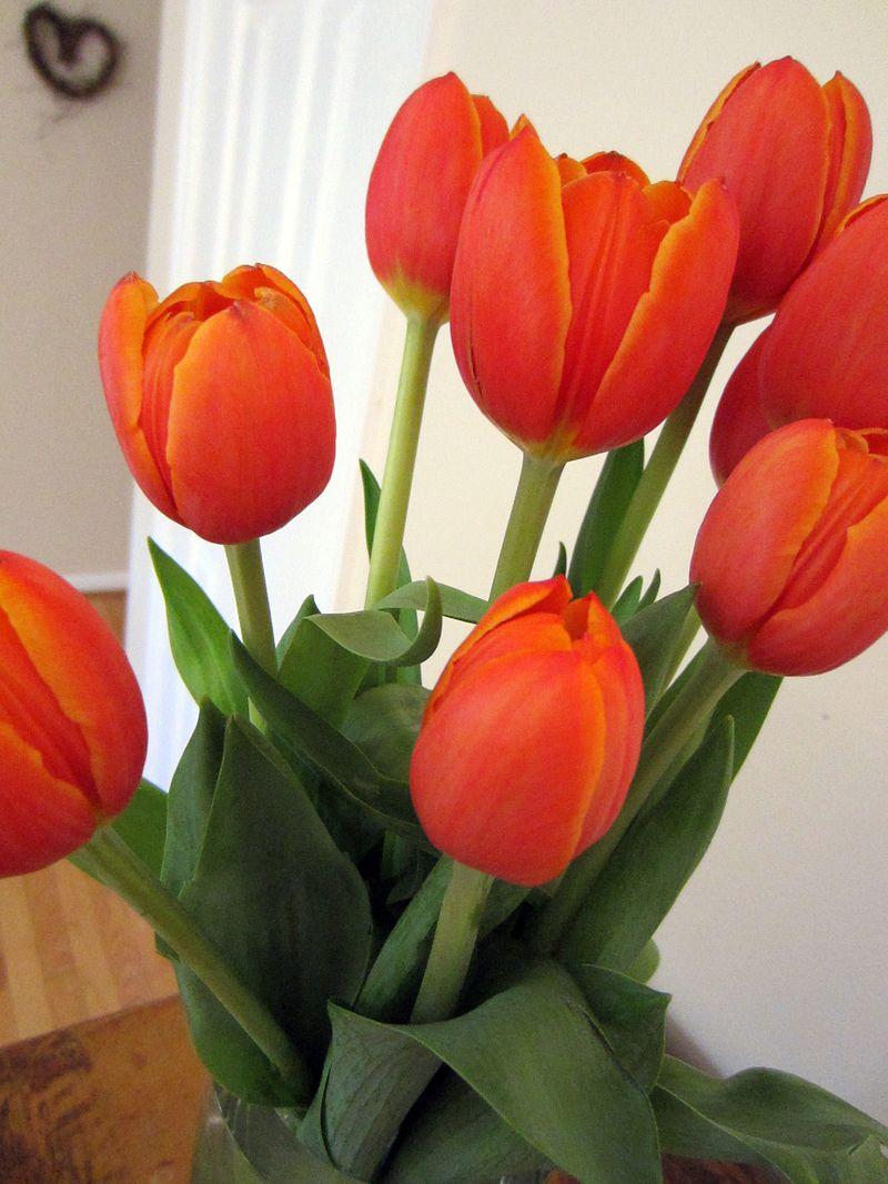 Orange-tulips