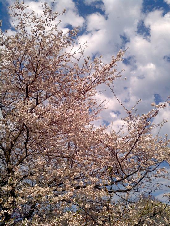 Cherry-tree-2013