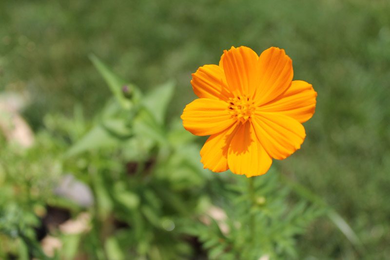 Orange Cosmos Flower
