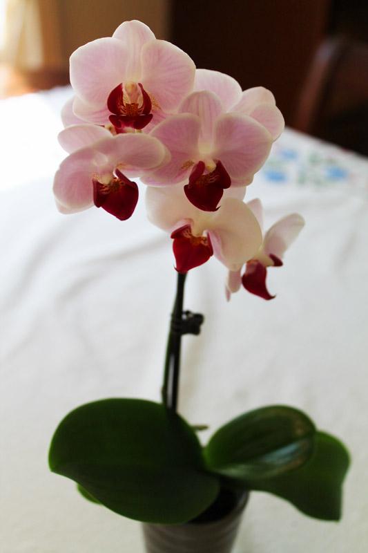 Mini-orchid