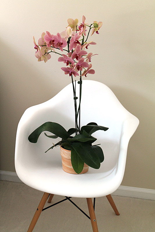 huge potted orchid from trader joes