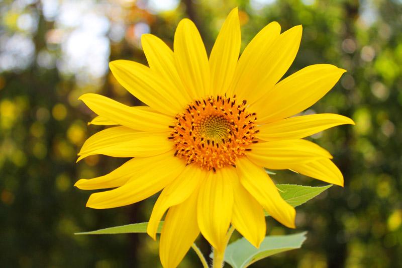 Sunflower in the Autumn Sun